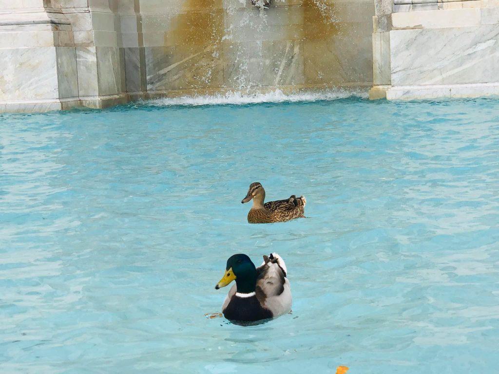 Утки в римском фонтане